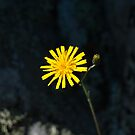 Plant, Common Hawkweed, Hieracium lachenalii or vulgatum, flower by Hugh McKean