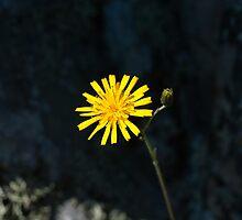 Plant, Common Hawkweed, Hieracium lachenalii or vulgatum, flower by Hugh McKean