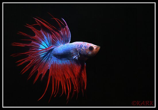 Male Crwon Tail Betta by Anandarajkumar