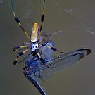 Banana Spider & Prey by steini