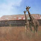 Where Giraffee roam or Rubber Necking?  by Sherryll  Johnson