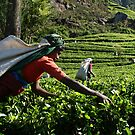Tea Pickers by Keith Molloy
