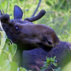 Young bull moose in the woods by amontanaview