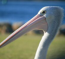 Elder Statesman, Pelican at Greenwell Point by Aakheperure
