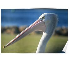 Elder Statesman, Pelican at Greenwell Point Poster
