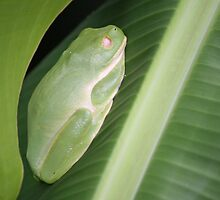 Day shift: Green tree frog by Aakheperure