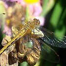 Dragonfly Detail! by PatChristensen