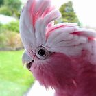 Yipeee! It&#x27;s Going To Rain...Cockatoo - Rose Breasted/Galah - NZ by AndreaEL