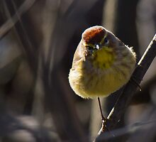 Palm Warbler by Francois Paradis