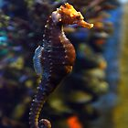 Sea Horse 1 by redscorpion