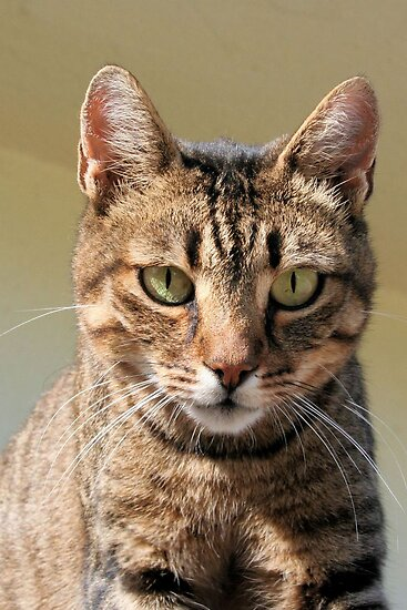 Portrait Of A Cute Tabby Cat With Direct Eye Contact by taiche