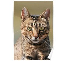 Portrait Of A Cute Tabby Cat With Direct Eye Contact Poster