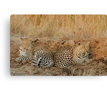 Leopards relaxing Canvas Print