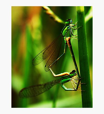 Damselflies Mating Photographic Print