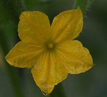 Cucumber Blossom by Renee Blake