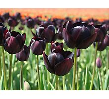Tulip Festival art print Deep Purple Tulips Meadow Baslee Photographic Print