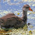 Baby Common Gallinule by jozi1