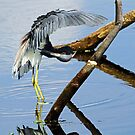 Tri-colored heron preening with reflections by jozi1