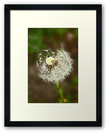Dandelion by Jeanne Horak-Druiff