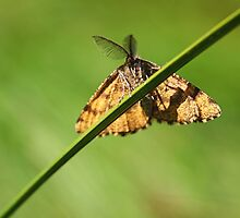 Lewes Wave - Scopula immorata (male) by Lepidoptera