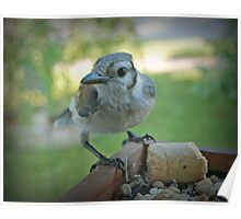 Young Bluejay Poster