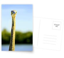 Great Blue Heron  Postcards