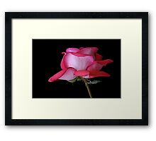 A Fully Open Red and Pink Rose on Black Background Framed Print