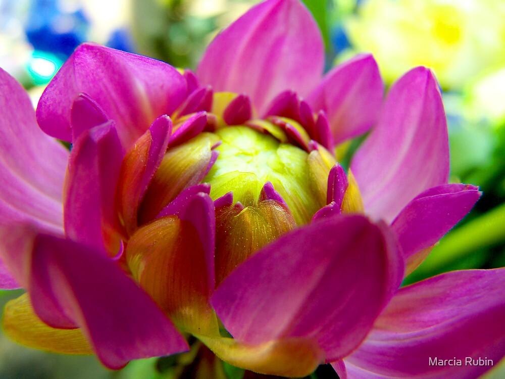 Dahlia In Bloom  by Marcia Rubin