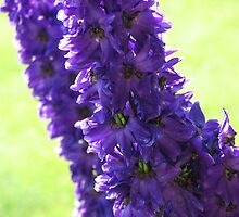 Delphinium by Kathi Arnell