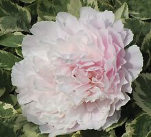 Peony by Kathi Arnell