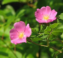 Wild Roses by Kathi Arnell