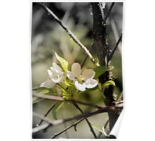 apple blossoms 8 Poster