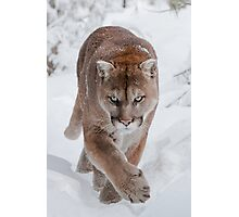Cougar in Snow Photographic Print