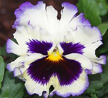Ruffled Pansy by Linda Fury
