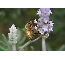Bee on the Lavender Photographic Print