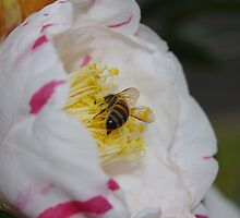 Bee Head down in a Camellia Flower by Linda Fury