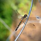 Dragonfly by Becky Trudell