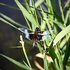 Dragonfly at the pond by Becky Trudell