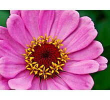 Gorgeous Pink Zinnia Photographic Print