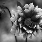 Dahlia in black & white by Audrey Clarke