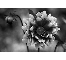 Dahlia in black & white Photographic Print