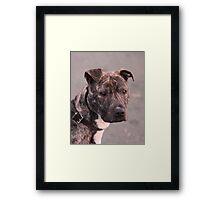Mia : Staffordshire Bull Terrier Framed Print