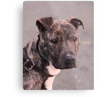 Mia : Staffordshire Bull Terrier Metal Print