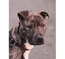 Mia : Staffordshire Bull Terrier Photographic Print