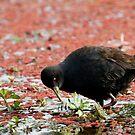 Black crake(Amaurornis flavirostra) by Adéle Van Schalkwyk
