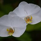 Orchid Twins by leoaloha