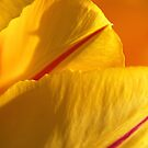 Bright Yellow And Red Tulip by Joy Watson
