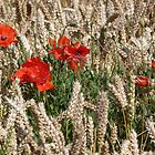 Poppies in the Corn by John Dunbar