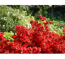 Landscape Botantanical Red Rhododendron Flowers Photographic Print