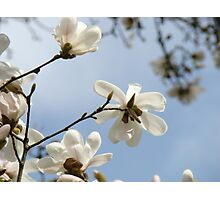 White Magnolia Flower Tree art prints Spring Photographic Print